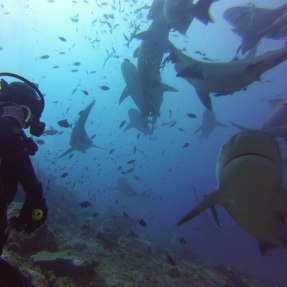 shark-diving-indo-ocean-project