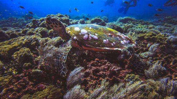 hawksbill-turtle-nusa-penida-nomads-diving-bali